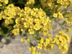 gele bloemen tegen onscherpe muur op de achtergrond