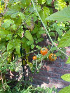 Mini tomaten uit eigen tuin