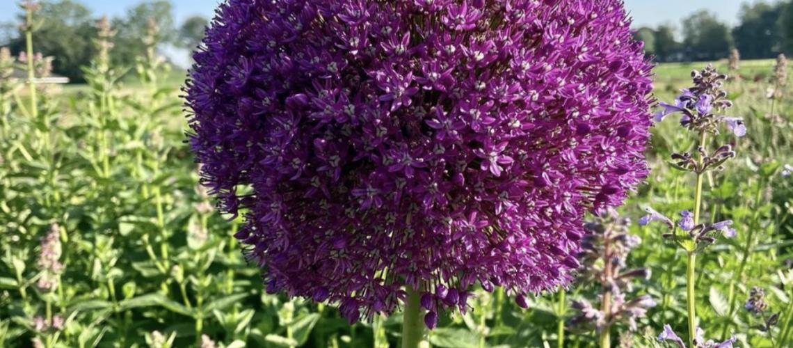 Foto energiebericht Allium Gladiator